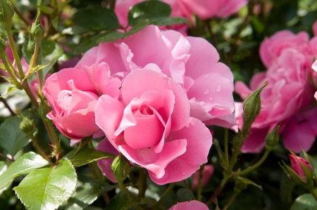 Ágyas rózsa