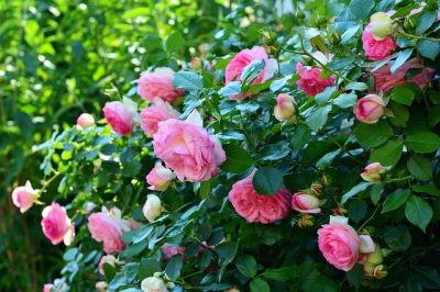 Csüngő rózsafa