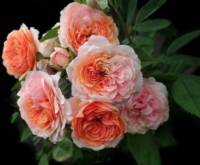 David Austin rózsa