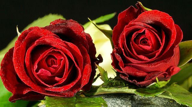 Rózsa főkép