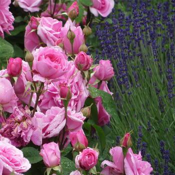 Levendula rózsa