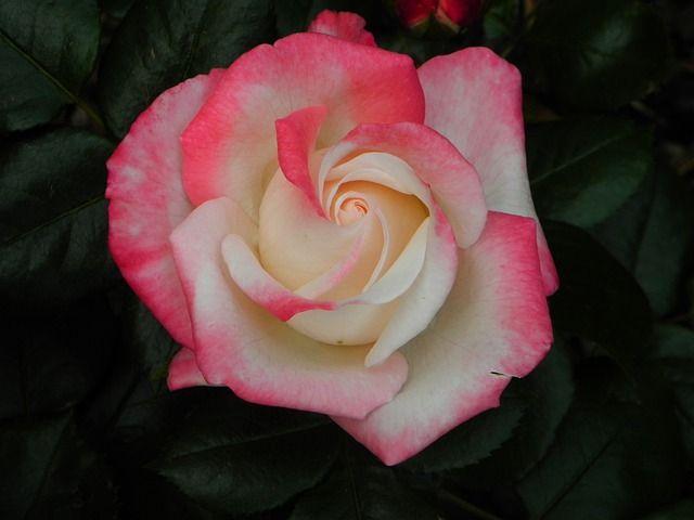 Márk rózsa