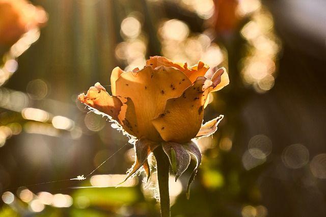 Rózsa betegségei