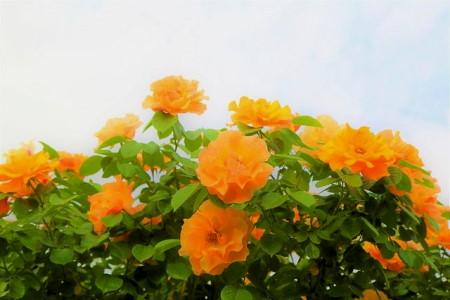 Bokor rózsa