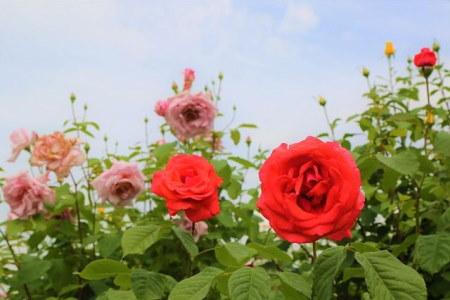 Rózsa szaporítása