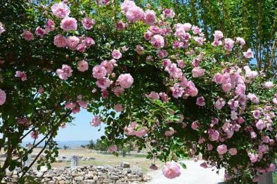 Rózsa tápoldat