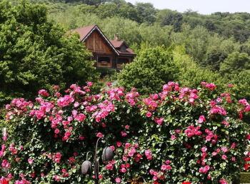 Sövény rózsa