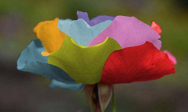Szivárvány rózsa