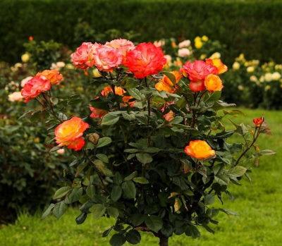 Törzses rózsa