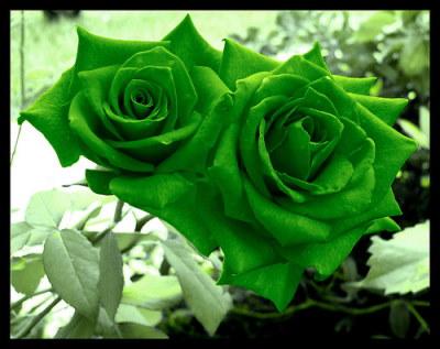 Zöld rózsa