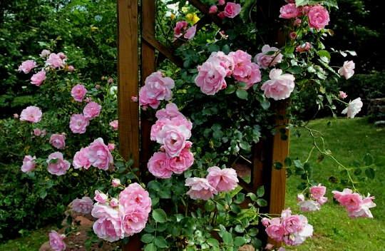 Rózsa talaja